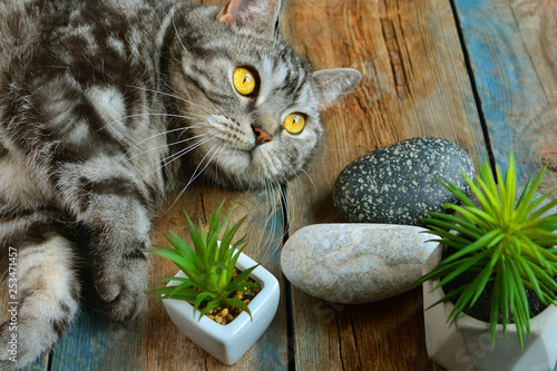 Fotografía  Striped british cat portrait with yellow eyes.