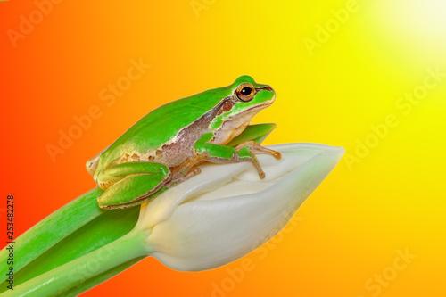 Beautiful Europaean Tree frog Hyla arborea - Stock Image Wallpaper Mural