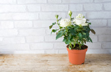Flower, White Rose Plant Growing In Brown Plastic Pot With Flower Blooming And Green Leaves On White Background.