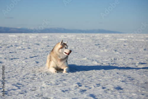 Fotografie, Obraz  Beautiful and happy dog breed siberian husky is lying on the snow at sunset and looking to the camera