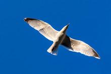 Ring-billed Gull Larus Delawar...