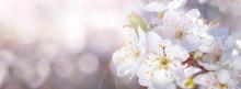Banner Spring Flowers Of Plum ...