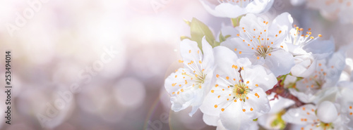 Banner spring flowers of plum tree on the branches