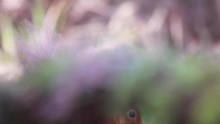 Red Squirrel, Sciurus Vulgaris, Pan, Movement Of Up And Over While Refocusing As The Squirrel Feeds On A Nut In A Pine Forest, Scotland, During Winter.