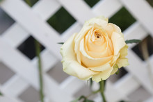 Beautiful Yellow Rose Grow Up Near A Lattice Partition