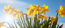 Spring Flowers, Yellow Daffodils On Blue Sky Background