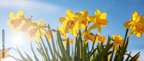 Photo Spring flowers, yellow daffodils on blue sky background