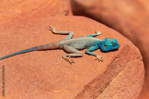 Photo The Sinai agama (Pseudotrapelus sinaitus, formerly Agama sinaita) is an agamid lizard found in arid areas of southeastern Libya, Egypt