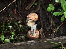 Mating Of Garden Snails