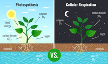 Photosynthesis Educational Pos...