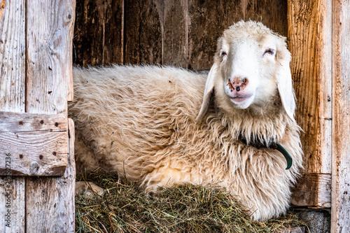 Fotobehang Schapen cute sheep