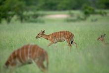 Nyala Female In The Long Grass