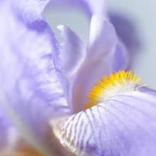 Iris Violet 2