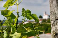 Close Up Of Emerging Grape Vin...