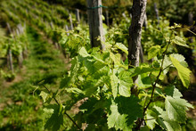 Rows Of Grape Vines In A Viney...