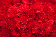 Red Carnation Flowers Background