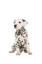 Cute Dalmatian Puppy Dog Sitting And Looking To The Side Isolated On A White Background