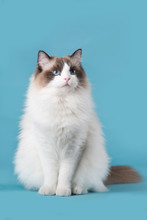 Pretty Ragdoll Cat With Blue E...