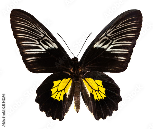 Fototapeta  Color butterfly, isolated on white background with clipping path, troides oblong