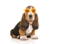 Cute Sitting Tricolor Basset H...