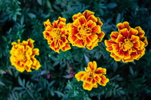 French Marigold Flowers (Tagetes Patula L.) Are Blossoming On Tree In Flowers Garden