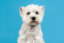 West Highland White Terrier Or Westie Dog Portrait Looking At The Camera In The Middle On A Blue Background