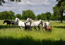 White Lipizzaner Mares Horse B...