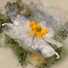 Watercolour Painting Of Stunning Close Up Image Of White Anemone Flower In Summer
