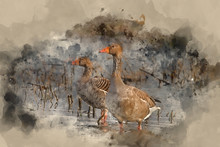 Watercolour Painting Of Beautiful Greylag Goose Anser Anser In Wetland Landscape