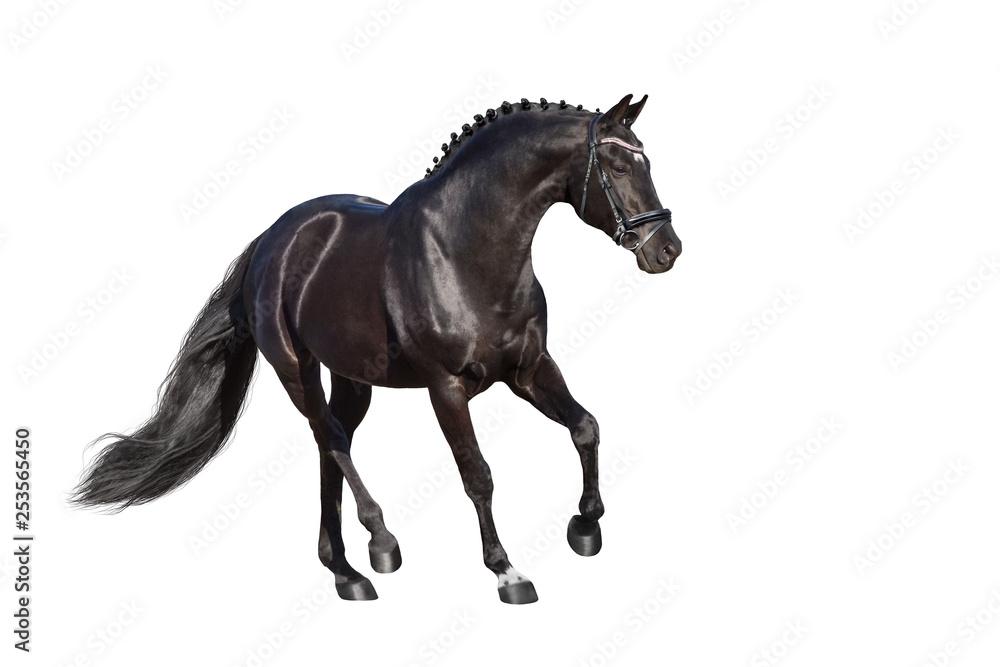 Fototapety, obrazy: Beautiful  stallion trotting isolated on white background