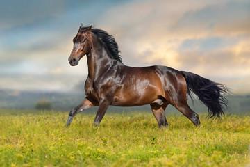 Bay stallion run free on spring meadow