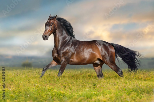 Foto op Canvas Paarden Bay stallion run free on spring meadow