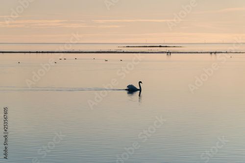 Fotografia  Graceful swan swimming in calm water