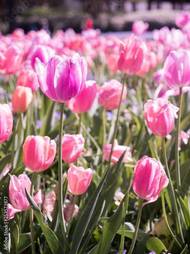 Photo  Tulips