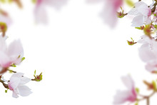 Beautiful Pink- White Magnolia Flowers Frame White Isolated