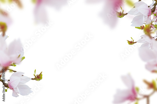 Spoed Fotobehang Bloemen Beautiful pink- white magnolia flowers frame white isolated
