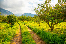 Lemon Trees In A Citrus Grove ...