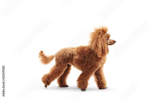 Tableau sur Toile Profile shot of a red poodle walking