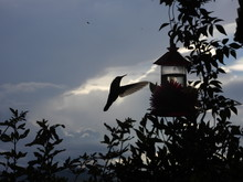 Hummingbird In Flyght