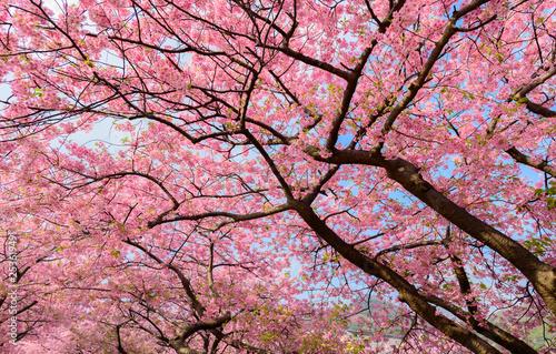 Photo Stands Candy pink Beautiful Japan Sakura tree