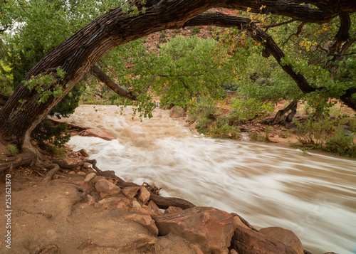 Fotografie, Obraz  A cottonwood tree arches over the rushing water of the Virgin river in Zion national park Utah