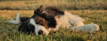Border Collie Dog Lying In The...