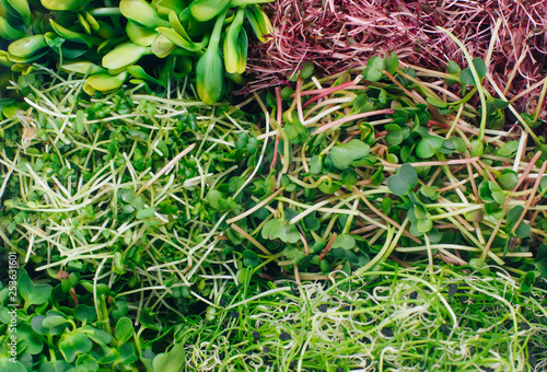 Closeup of micro greens sprouts of radish, amaranth, mustard, beetroot and onion Canvas Print