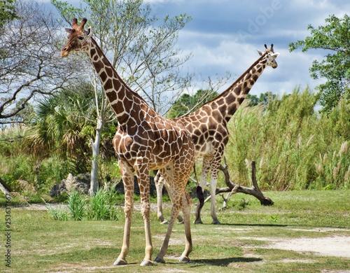 Photo  Giraffe Couple