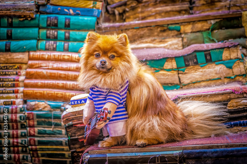 Tablou Canvas Spitz-Type Dog dressed as a gondolier in Venice, with guitar