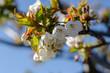 Cherry tree blossom closeup
