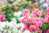 Colorful pink yellow white  azalea flowers in garden. Blooming bushes of bright azalea at spring sunlight. Nature, spring flowers background