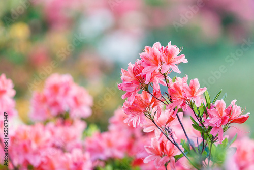 Poster Azalea Colorful pink yellow white azalea flowers in garden. Blooming bushes of bright azalea at spring sunlight. Nature, spring flowers background