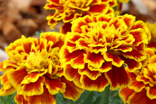 Beautiful French Marigold Flowers Are Blooming