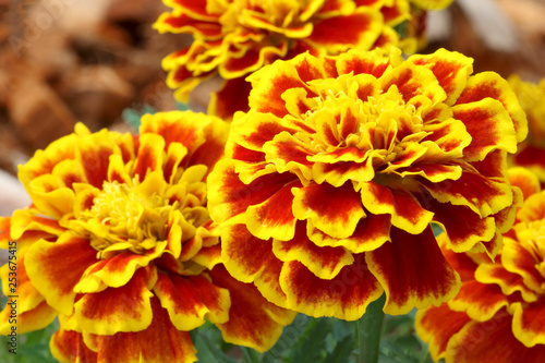 Fotografía  Beautiful french marigold flowers are blooming